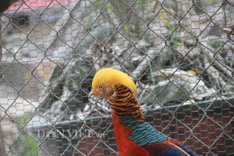 Chính bởi sự đặc biệt và quý hiếm này, những con chim trĩ có từ 6 màu trở lên được giới chơi chim săn lùng rất ráo riết. Đắt giá và quý nhất là những con chim trĩ có bộ lông đầu màu vàng, mỏ vàng và chân vàng. Bởi theo quan niệm của giới chơi chim thì màu vàng là tượng trưng cho sự giàu sang quyền quý, màu của vàng bạc. Ảnh: Dân Việt.