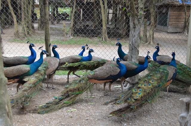 Dù giá bán chim công khá đắt nhưng nhiều đại gia lắm tiền vẫn chuộng tìm mua chim công về nuôi chơi cảnh dịp Tết. Cụ thể, giá của chim con từ 2-3 tháng tuổi là khoảng 4 triệu đồng/cặp và từ 12-15 triệu đồng/cặp chim trưởng thành. Ảnh: Dân Việt.