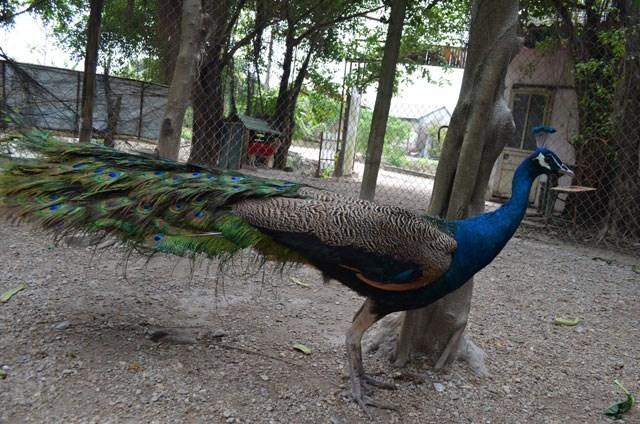 """Nhiều người dân quan niệm rằng, chim công tượng trưng cho giàu sang, quyền quý. Đuôi chim công có hình đồng tiền, tượng trưng cho """"tài lộc"""" mang lại may mắn trong năm mới. Ảnh: Dân Việt."""