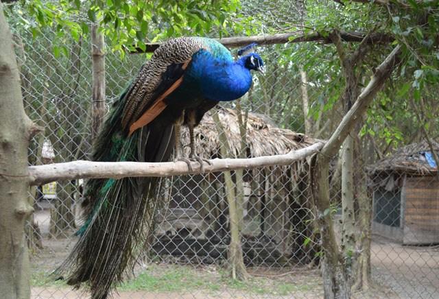 Nhiều năm trở lại đây, cứ vào dịp trước Tết Nguyên đán khoảng nửa tháng, nhiều người tìm mua chim công về nuôi làm cảnh hoặc mang làm quà biếu dịp Tết. Chim công không lạ nhưng được xếp vào dòng đẹp và quý nên được nhiều người lùng mua. Ảnh: Dân Việt.