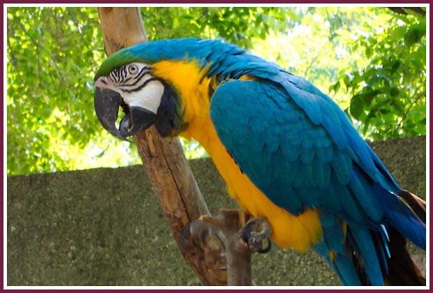 Vẻ đẹp sặc sỡ cùng sự thông minh đã khiến loài vẹt Nam Mỹ có giá rất đắt và được nhiều đại gia Việt săn lùng chơi Tết. Những người chơi vẹt cho biết, để sở hữu một chú vẹt Nam Mỹ là điều không hề dễ, bởi theo giới chơi chim cảnh số lượng loài vẹt này ngoài tự nhiên đang giảm đáng kể. Ảnh: Nowisconsinpuppymills.
