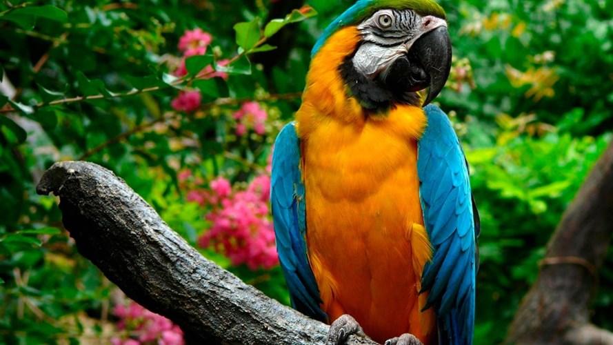 Vẹt Nam Mỹ (Blue and Gold Macaw) có thể có giá từ 2 ngàn tới cả chục ngàn USD. Là một trong những loài vẹt biết bay lớn nhất thế giới, Vẹt Nam Mỹ từng được tạp chí dành cho giới thượng lưu nước ngoài xếp hạng 1 trong 10 vật nuôi đắt đỏ nhất dành cho đại gia. Ảnh: Internet.