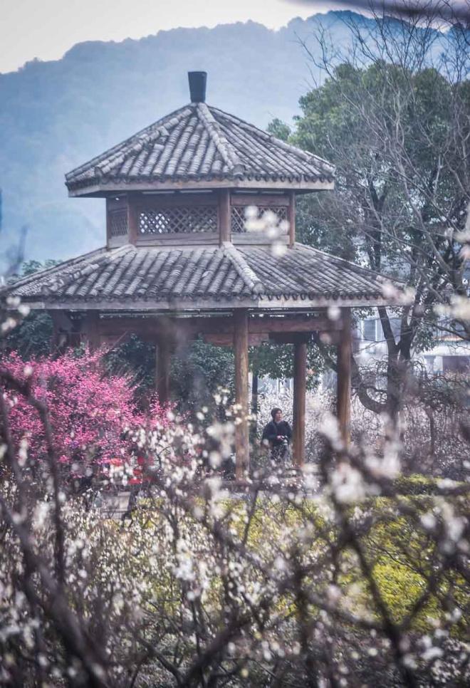 Hoa mận thường nở ở Hàng Châu vào cuối đông đầu xuân, cao điểm là tháng 2. Năm nay, lễ hội hoa mận Chaoshan kéo dài từ đầu tháng 1 tới hết tháng 3. Nơi ngắm hoa lý tưởng là Tây Hồ, chùa Lôi Phong, hay Chaoshan, một ngọn đồi cổ xưa, rộng rãi, trồng tới hơn 50.000 gốc mận.