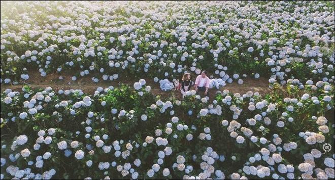 """Cánh đồng cẩm tú cầu với những khóm hoa nở rộ, màu xanh tím đang là điểm đến khá """"hot"""" ở Đà Lạt. Ảnh: Thiện Chí."""