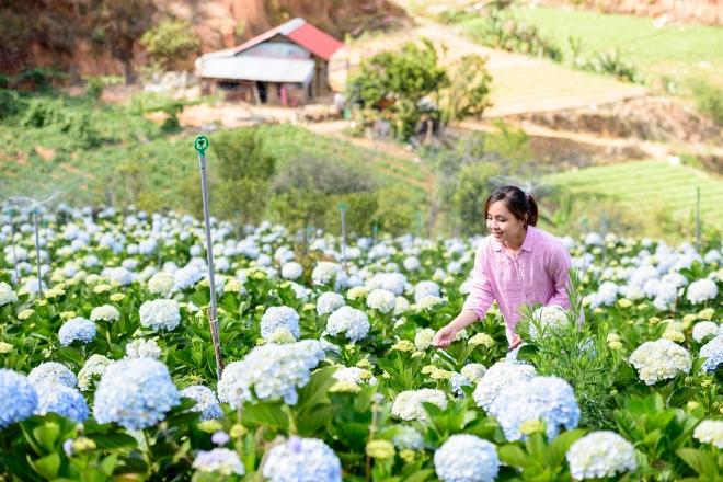 Cánh đồng này cách trung tâm Đà Lạt khoảng 15 km, thuộc huyện Lạc Dương bên cạnh tỉnh lộ 723 - tuyến đường nối thành phố Đà Lạt và Nha Trang. Ảnh: Hachi8.