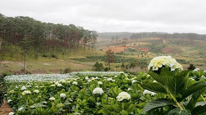Từ trung tâm thành phố, bạn đi thẳng quốc lộ 20 (đường Trần Hưng Đạo) – Trần Quý Cáp - Phan Chu Trinh, chạy xe hướng hồ Than Thở sẽ thấy tỉnh lộ 723. Đến đây bạn sẽ chiêm ngưỡng cánh đồng rực rỡ rộng hơn 2 ha cạnh rừng thông xinh đẹp. Ảnh: Thanh Toàn.