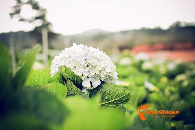 Cẩm tú cầu là loài hoa nổi tiếng ở Đà Lạt, được trồng ở nhiều nơi trong trung tâm và ngoại ô. Cánh đồng hoa lớn, nở rộ như nơi này ban đầu không dành cho khách du lịch, khi nhiều người tìm đến tham quan thì trở thành điểm đến đông khách. Ảnh: Pathfinder.