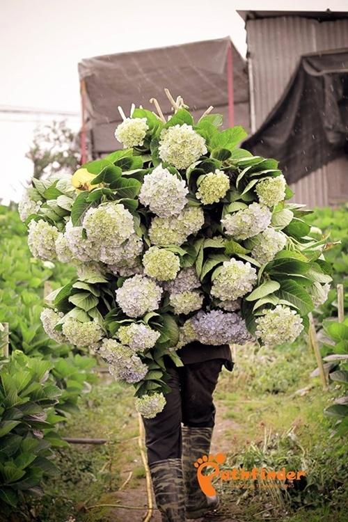 Du khách đến tham quan hãy đi theo lối sẵn trong vườn, không tự ý bẻ hoa, nếu muốn mua hoa có thể nhờ chủ vườn cắt giùm. Bạn nên đến vào buổi sáng, khi trời nắng đẹp. Ảnh: Pathfinder.