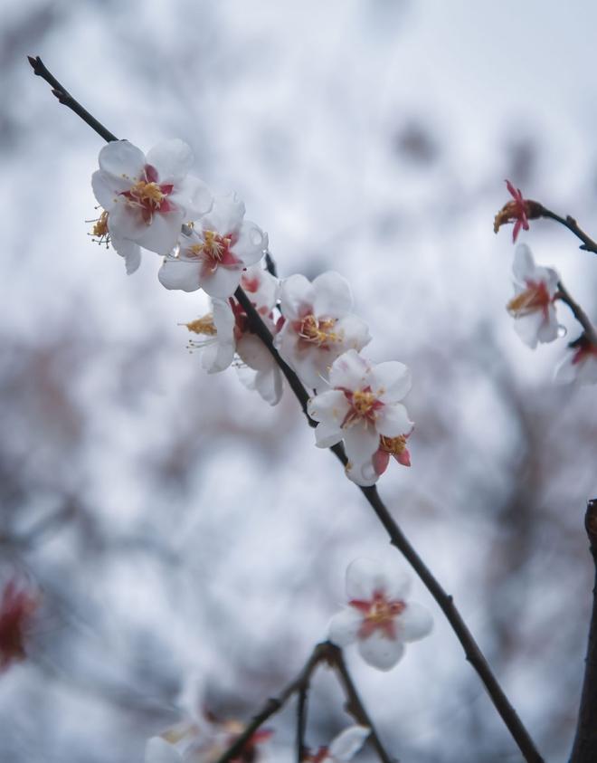 Trung Quốc nổi tiếng bởi 5 cây hoa mận cổ ứng với các triều đại Chu, Tần, Tùy, Đường và Tống. Chaoshan chính là nơi trồng hoa mận có nguồn gốc từ thời Đường và Tống.