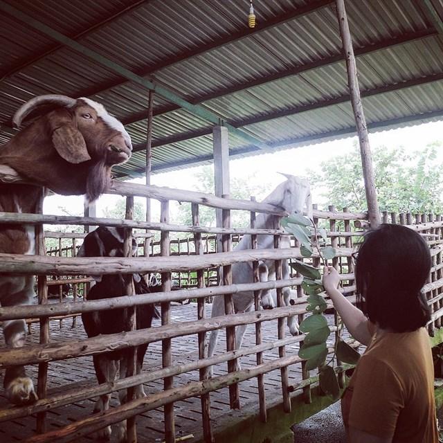 Khách tham quan có thể trải nghiệm cảm giác đua ngựa, vắt sữa bò, cho dê ăn, trồng rau sạch,...