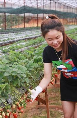 Vườn dâu Phước Lộc rộng 4.000m2, trong đó 3.000m2 trồng dâu tây dạng bán thuỷ canh, với 2 loại giống là dâu Nhật Bản và Newzealand. 1.000m2 còn lại dành trồng cà chua chocolate và cà chua cherry.