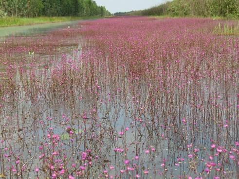 Hoa đua nhau nở thành vạt dài non cây số, kéo cái màu tím nhớ thương ấy dài đến bất tận, tím bát ngát cả một khúc sông.