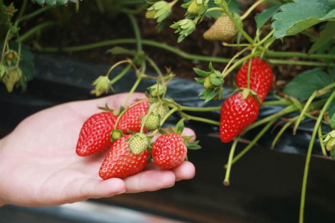 Sản lượng dâu tây của vườn trung bình cho thu hoạch 10kg mỗi ngày trên 1.000m2. Còn cà chua là 50kg một ngày
