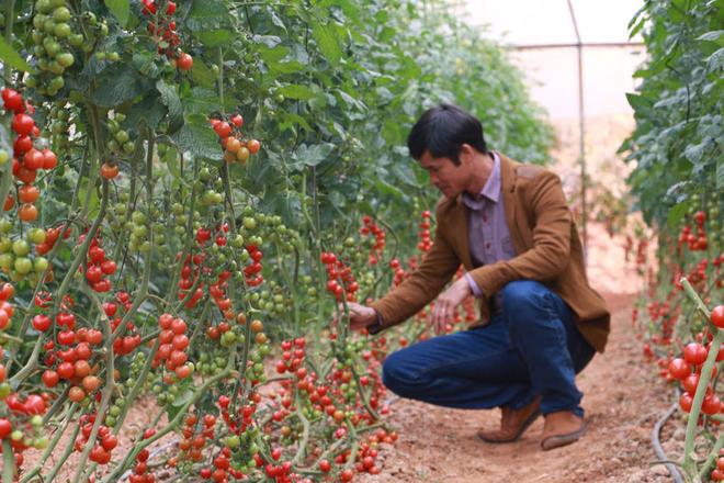 Vườn Phước Lộc hình thành được 2 năm nay do ông Vương Đình Phước, 44 tuổi làm chủ. Ông Phước cho biết sau khi cải tạo 3ha vườn tạp và cà phê già cỗi ở huyện Lạc Dương thành đất trồng rau, ông đã cho thuê toàn bộ diện tích đất này và gom tiền đầu tư vườn dâu tây, cà chua công nghệ cao diện tích 4.000m2 tại Thánh Mẫu.