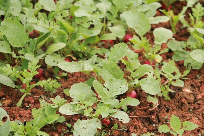 Tại vườn Phước Lộc hiện đang có thêm những giống cây mới, lạ như củ cải tí hon, dưa Nam Mỹ.