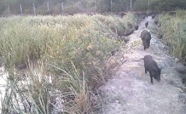 Đàn heo cỏ của Phát suốt ngày rong chơi thư giãn