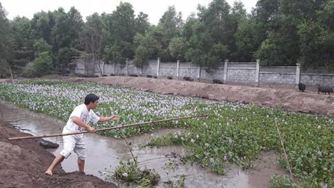 Lục bình chính là nguồn thức ăn dồi dào và tự tái tạo cực nhanh cho đàn heo cỏ