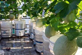 Sinh ra ở thành phố biển Quy Nhơn, anh Lê Bạch Thái Thuyên không có chút kinh nghiệm gì về trồng trọt. Nhưng sau 5 năm làm vườn trên mái nhà ở quận Gò Vấp (TP HCM), anh Thuyên đã thu hoạch được những lứa rau trái xanh tốt không kém nông dân thực thụ.
