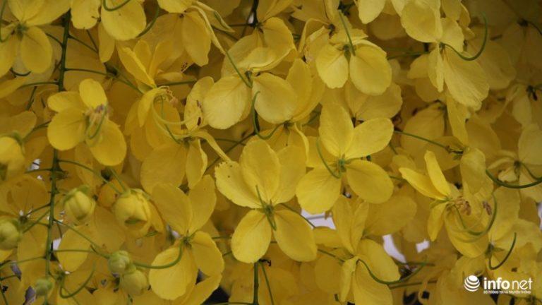 Những chùm hoa vàng tung bay theo gió trong nắng sớm.