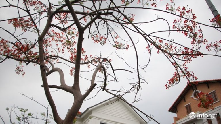 Cũng trong thời gian này hoa phượng bắt đầu bung nở, báo hiệu thành phố đã vào hè