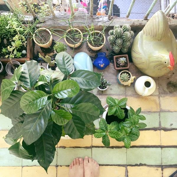 Ban công với sen đá và cây cà phê Linh đem từ Đà Lạt về.