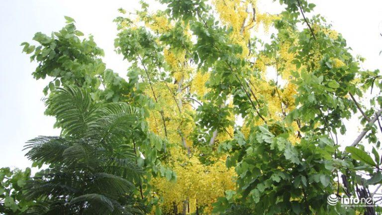Tại TP.HCM cây được trồng nhiều tại các tuyến đường tại quận Thủ Đức, quận 7. Cây nở hoa vào đầu mùa hè và kéo dài trong khoảng 2 tháng sau đó.