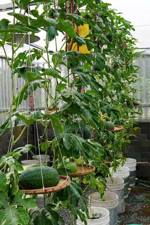 Ngoài vườn ở nhà, anh Thuyên còn làm thêm khu vườn ở nhà bố mẹ vợ ở quận 12 (TP HCM). Ở đây, anh trồng khoảng 20 cây dưa trên diện tích 50 m2. Những trái dưa nặng trĩu được đỡ bằng mẹt để không bị gãy cành.