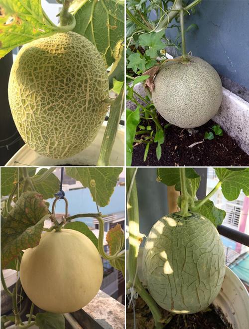 Anh Thuyên chọn trồng dưa vì cả nhà đều thích ăn loại quả giúp giải nhiệt tốt. Khu vườn có rất nhiều loại dưa như vân lưới, vân trơn, mật hoa, ngọc cô, chu phấn