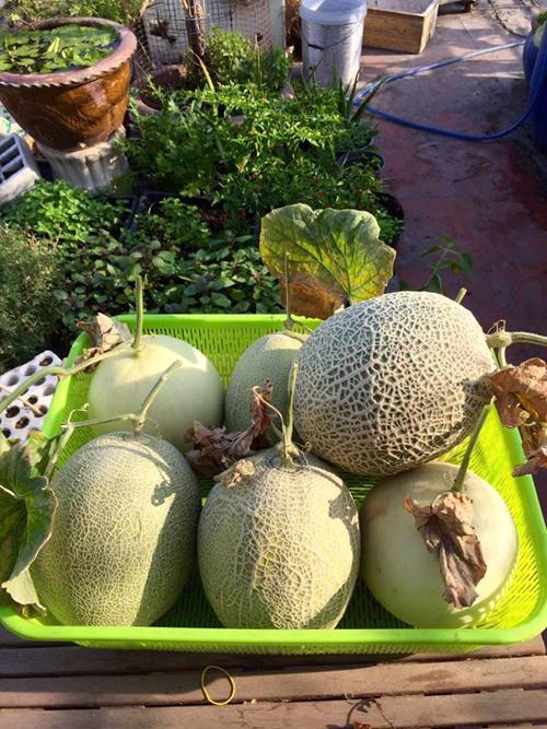 Ngoài ra, anh còn trồng thêm các loại rau ăn hàng ngày như xà lách, rau khoai lang xung quanh đó.
