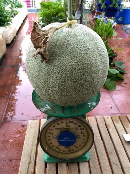 Mỗi trái dưa nặng trung bình 2-2,5 kg, nên sau mỗi vụ, gia đình thu hoạch được khoảng 50 kg quả.