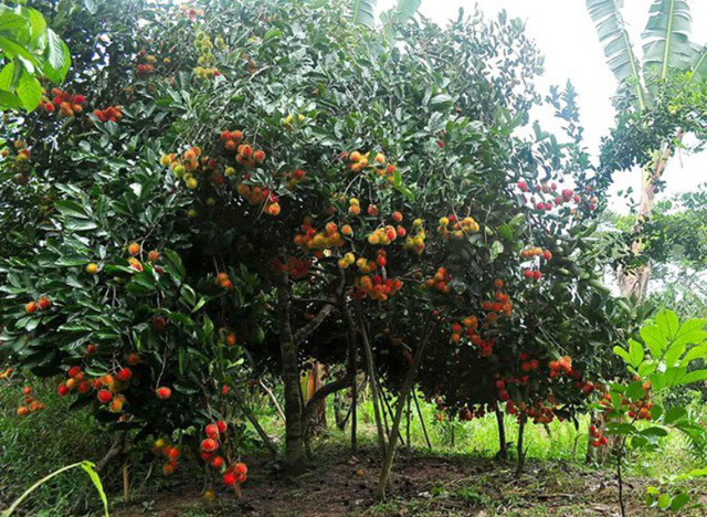 Cù lao An Bình có nhiều vườn cây ăn trái sum xuê.