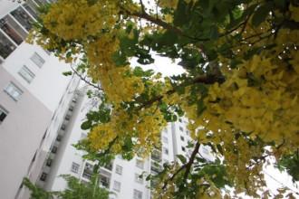 Mai Osaka còn có nhiều tên gọi khác như Muồng hoàng yến, Muồng hoàng hậu, Hoa lồng đèn, Bò cạp nước,…
