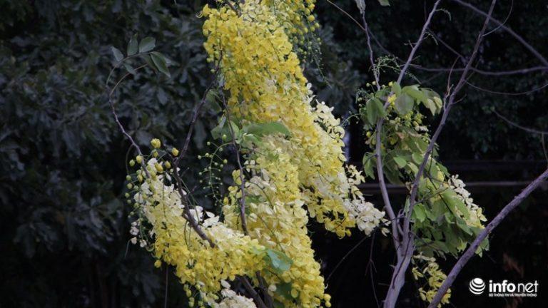 Những cây hoa vàng được trồng xen kẽ trên cả các tuyến đường nhỏ tạo cảm giác yên bình…