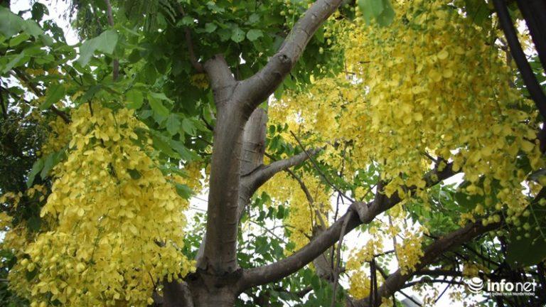 Màu sắc rực rỡ, lại nở trong những ngày hè nắng chói chang nên loài cây này luôn nổi bật tại những vị trí được trồng.