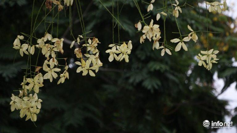 Những cánh hoa mỏng manh bay trong gió sau thời gian dài khoe sắc.