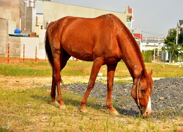 Ông Ba Trí và chú ngựa đua đang được ông chăm sóc hàng ngày.