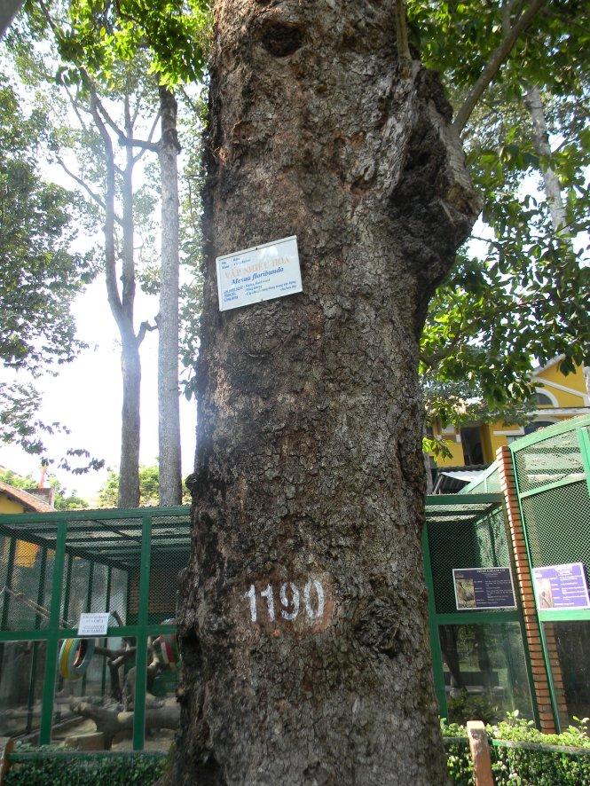Gốc cây vấp 1 trong Thảo Cầm Viên mang số hiệu 1190 – Ảnh: SƠN TRẦN