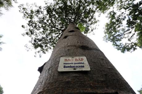 Ngoài cây bao báp trên, tại Tại TP.HCM còn có 3 cây bao báp được trồng ở Thảo Cầm Viên Sài Gòn có độ tuổi khoảng 15-20 năm.