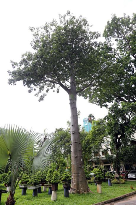 Cây bao báp có thể sống hàng trăm tuổi. Ngoài TP.HCM, cây bao báp còn được trồng ở Hà Nội, Huế, Kiên Giang.