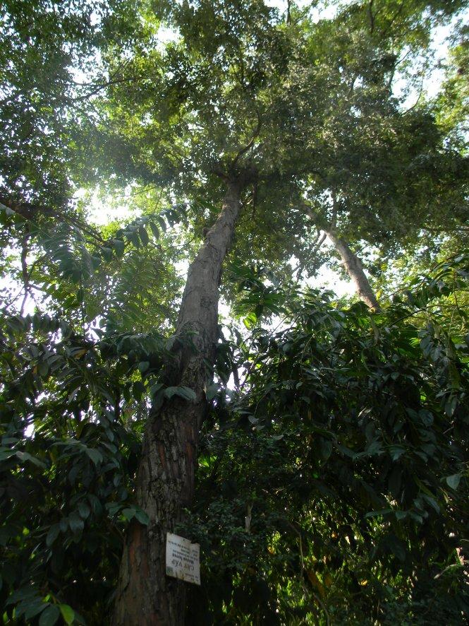 Cây vấp 1 cao sừng sững, oai vệ trong Thảo Cầm Viên – Ảnh: SƠN TRẦN