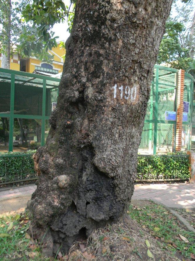 Gốc cây vấp 2 trong Thảo Cầm Viên xem ra đã và đang chống chỏi với thời gian – Ảnh: SƠN TRẦN