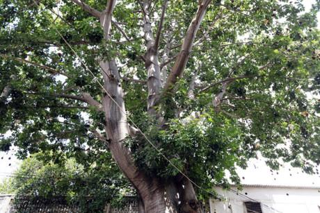 Người trực tiếp mang giống từ châu Phi về và trồng cây bao báp này là thầy Nguyễn Quý Tuấn, nguyên Phó trưởng phòng Khoa học - công nghệ và sau đại học của trường.