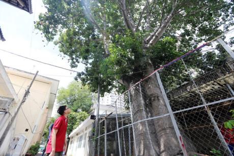 Sau 25 năm được trồng ở Sài Gòn, cây phát triển xanh tươi