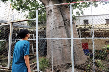 Bao báp lớn nhanh. Hiện cây này cao khoảng 20m và có tán rất rộng. Thân cây phải 2 người lớn ôm mới hết.