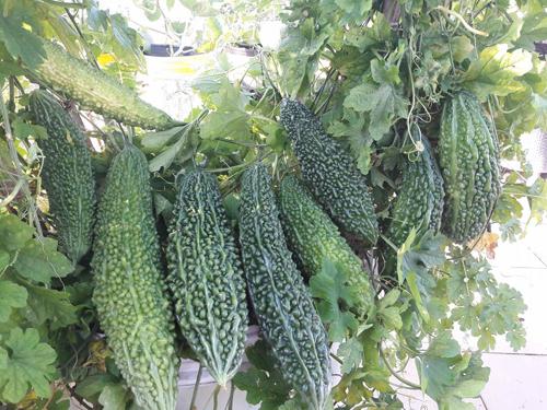 Ấn tượng nhất trong vườn là những giàn quả dày đặc. Chị Thương chia sẻ kinh nghiệm, cây ăn trái cần ít nhất 6 tiếng đồng hồ nắng, lượng nước tưới phải rất nhiều. Ngoài ra, bạn cần cắt tỉa lá ngả vàng, các nhánh phụ không phát triển...