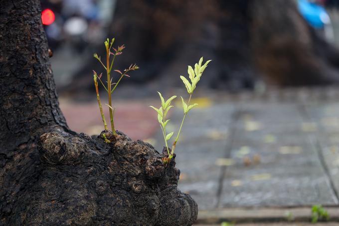 Nguyên tắc được UBND TP nêu ra là ưu tiên di dời, chỉ đốn hạ những cây có khả năng sống thấp. Sau khi di dời, cây xanh được bứng dưỡng về chăm sóc tại lâm viên Đại học Nông lâm. Gỗ được thu hồi để chế tạo các sản phẩm công cộng