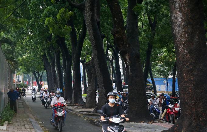 Cây được người Pháp trồng, mọc thành hàng dài thẳng tắp, cao trung bình 25 m, tỏa bóng mát xum xuê. Đường Tôn Đức Thắng độc đáo khi có thêm làn đường phụ cho xe thô sơ cùng 4 hàng cây có tuổi đời cao ở trung tâm Sài Gòn