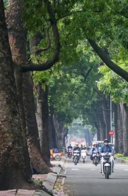 Đường Tôn Đức Thắng, đoạn từ bờ sông Sài Gòn đến giao lộ đường Lê Duẩn (quận 1, TP HCM) từ lâu luôn rợp bóng mát với 4 hàng cây xà cừ có tuổi đời cả trăm năm vươn cao, tỏa nhánh xum xuê.