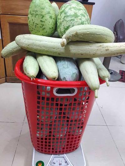 Sau mỗi vụ quả, gia đình có thể thu hoạch được cả chục kg thực phẩm xanh.