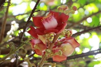 Những ngày gần đây, du khách đến thăm chùa Thiên Mụ hơn 400 năm tuổi ở Thừa Thiên Huế đều ngỡ ngàng trước vẻ đẹp của loài hoa Sala trồng ở trong sân vườn.  Ngoài tên gọi là Sala, loài cây này còn được gọi là cây Đầu lân, cây Hàm rồng, cây Ngọc kỳ lân.